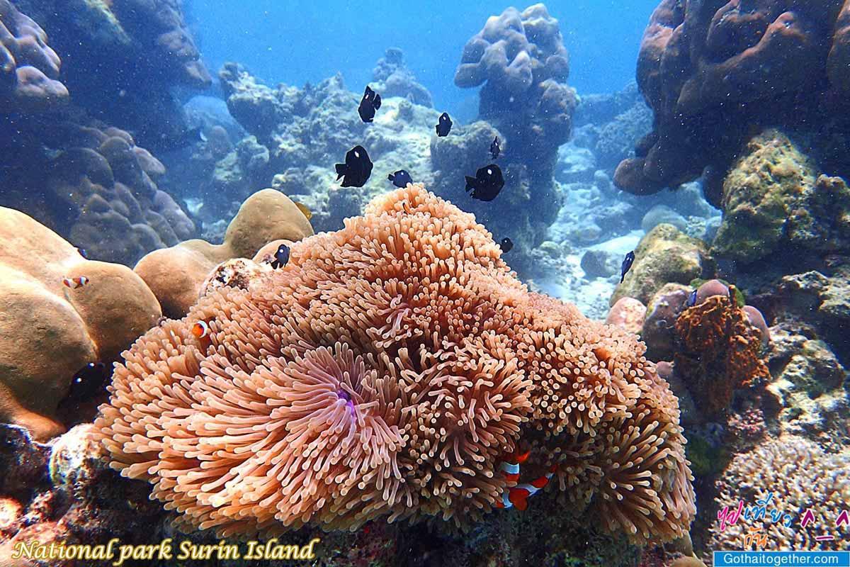 หมู่เกาะสุรินทร์ โลกใต้ทะเล อันสวยงาม 79